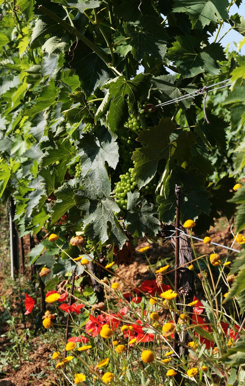 vitigni-morellino.scansano-terenzi