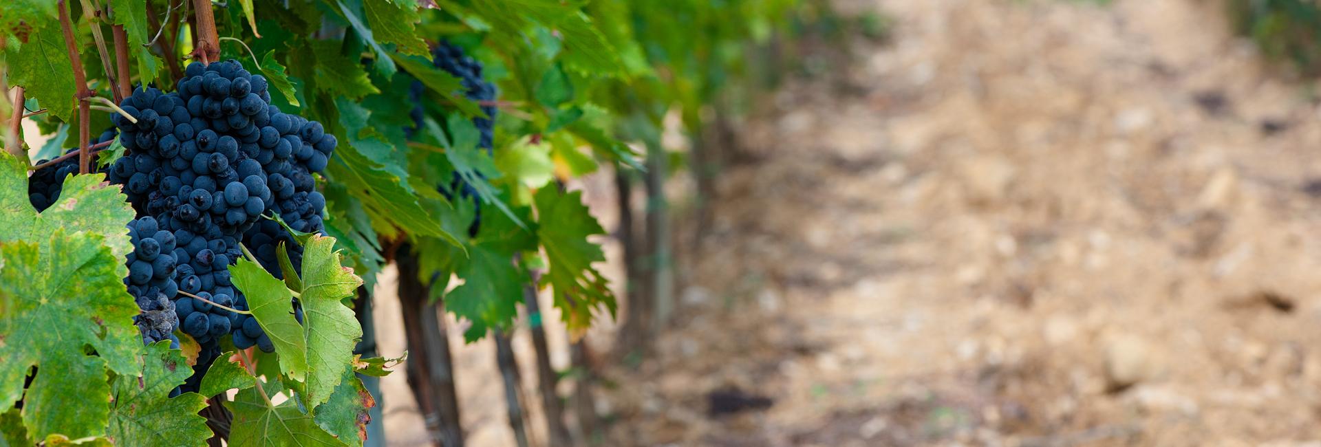 vini-terenzi-morellino-viticolori-scansano